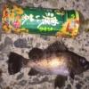 【1月12日】メバル釣果 釣り ポイント (呉 音戸 江田島 倉橋)
