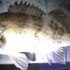 【1月20日】メバル釣果 釣り ポイント (呉 音戸 江田島 倉橋 阿賀)
